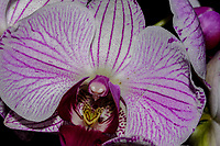 Phalaenopsis Orchid detail, commonly known as Moth Orchids