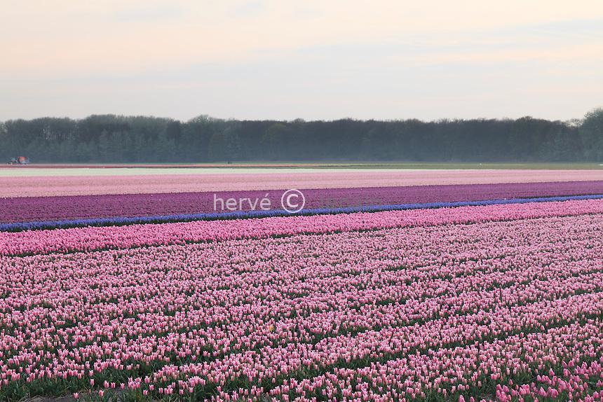 """Hollande, région des Champs de fleurs en avril, Lisse, ici champ de tulipes // Holland, """"Dune and Bulb Region"""" in April, Lisse, here, fields of tulips."""