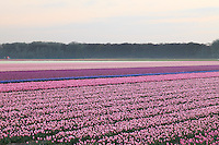 "Hollande, région des Champs de fleurs en avril, Lisse, ici champ de tulipes // Holland, ""Dune and Bulb Region"" in April, Lisse, here, fields of tulips."