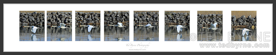 Series of 7 frames from a 1.5 second pan of a swan passing by over a river
