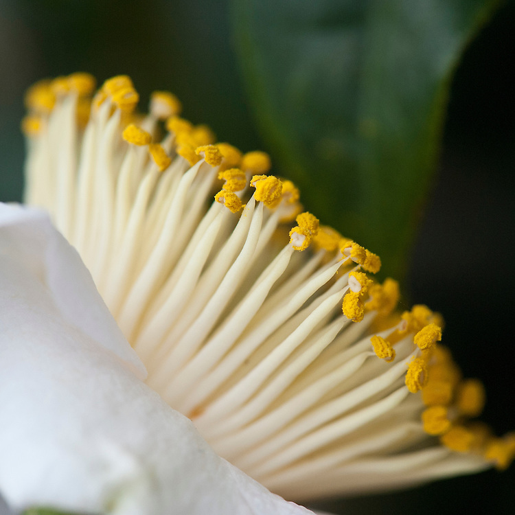 Close-up of white Camellia 'Tenju' flower, glasshouse, early February.