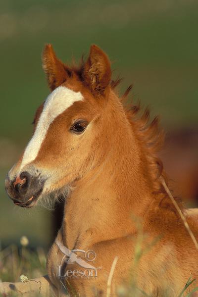 Wild horse or mustang colt.  Pryor Mountain Wild Horse Refuge, Montana.  June..(Equus caballus)