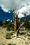 CA: Bristlecone Pines,White Mountains, oldest treea, catree105.Photo copyright Lee Foster, 510/549-2202, lee@fostertravel.com, www.fostertravel.com