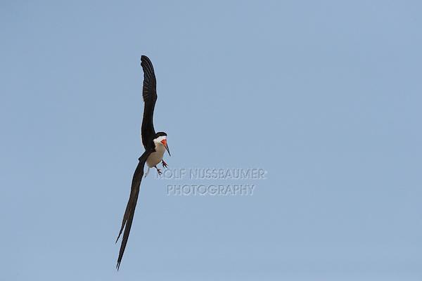 Black Skimmer (Rynchops niger), adult in flight, Port Isabel, Laguna Madre, South Padre Island, Texas, USA