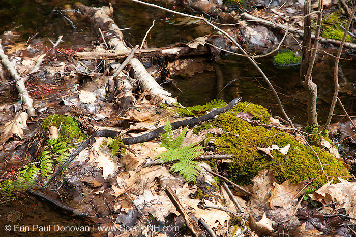 Northern Water Snake (Nerodia sipedon sipedon) in wetlands area in Sandown, New Hampshire