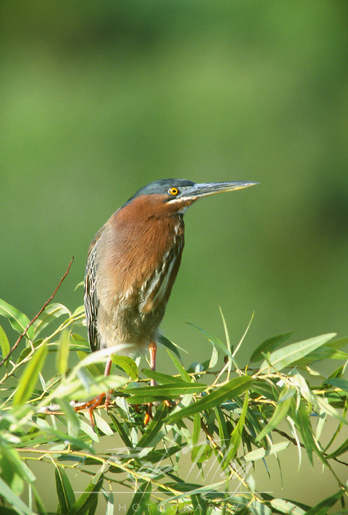 Green Heron, Evergaldes NP, Florida, USA