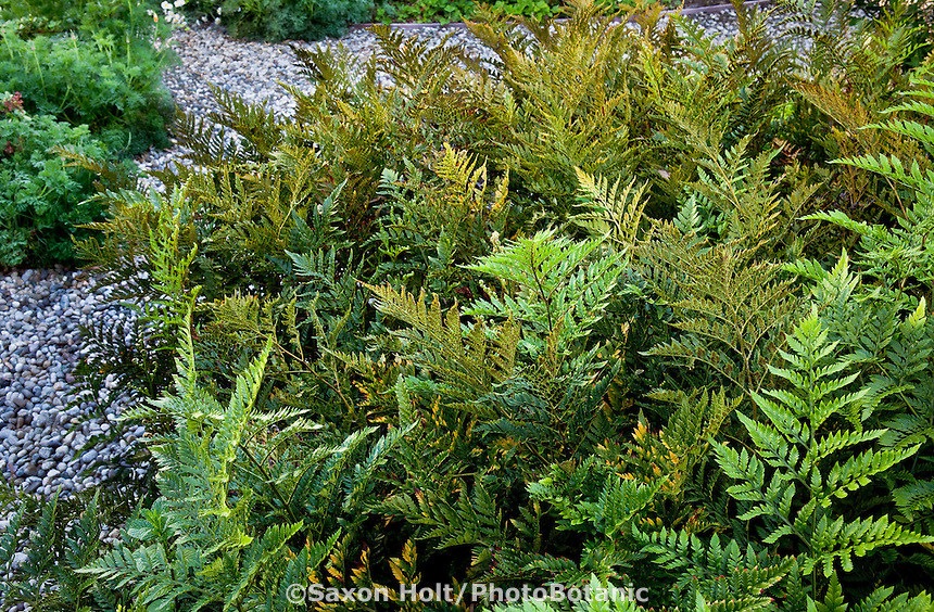 Groundcover fern in Southern California native plant garden