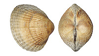 Common Cockle - Cerastoderma edule