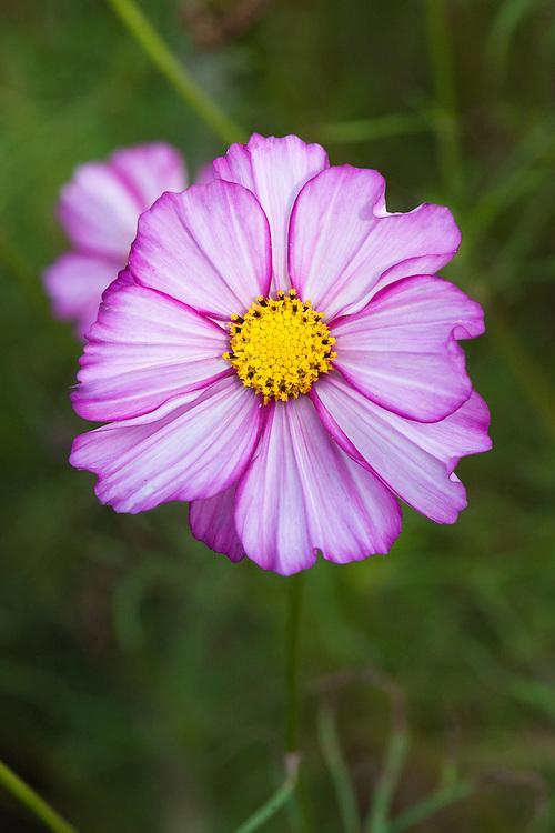 Cosmos bipinnatus 'Sweet Sixteen', late September.