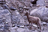 DESERT BIGHORN LAMB LOOKIN FOR MOM