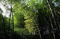 "The bamboo forests of Zhuhai, which literally translates as ""Bamboo Sea."" This is one of the few areas of bamboo forest in the south that have a moderate amount of protection. Felling still occurs, as the forests do not fall within the 1998 logging ban."