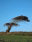 Lone wind blown tree, Cornwall