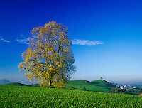 Linden trees with fall colors on hill top, Zug, Switzerland, Europe