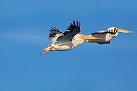 American white pelicans fly over Elkhorn Slough - Moss Landing, California.