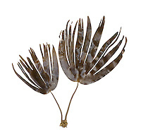 Laminaria hypoborea