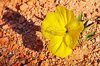 evening primrose, Oenothera sp., Navajo Trail, Bryce Canyon National Park, Utah, USA