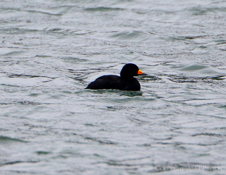 Adult male black scoter