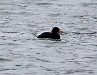Adult male black scoter