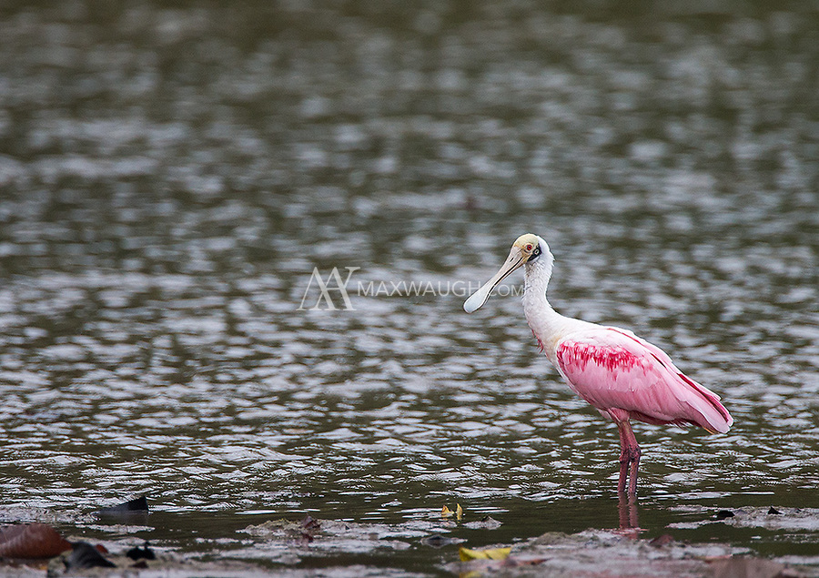 An uncommon sighting (for me) of a Roseate spoonbill in Corcovado National Park.