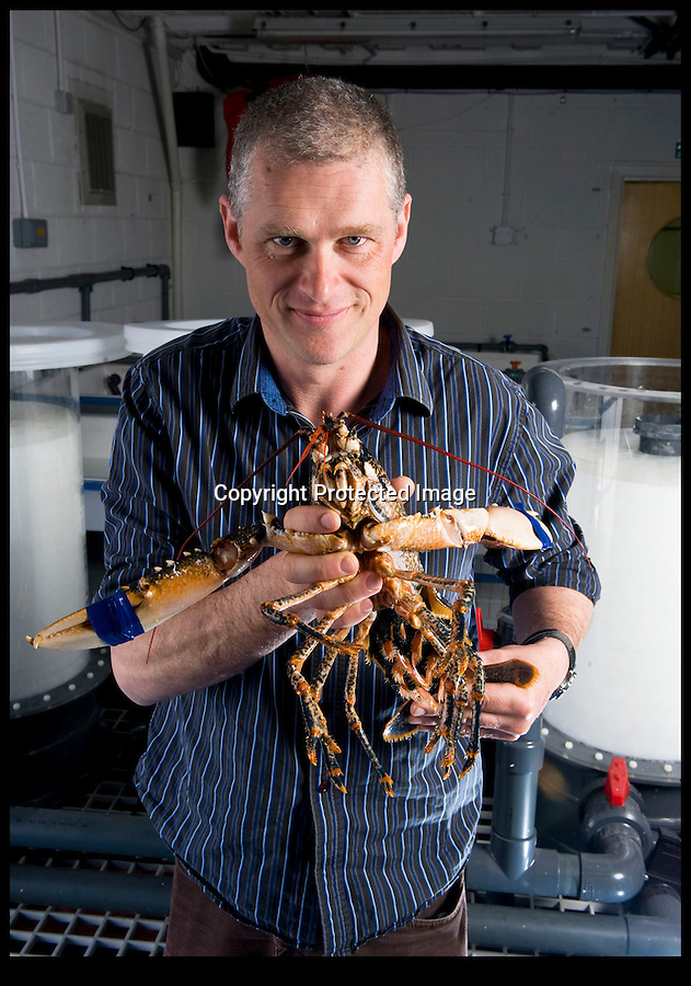 BNPS.co.uk (01202 558833)<br /> Pic Phil Yeomans/BNPS.co.uk<br /> <br /> 'Prawn to be wild'<br /> <br /> Manager Dominic Boothroyd with a female lobster full of eggs.<br /> <br /> An army of 1000 tiny lobsters have been released onto a purpose built reef built on the sea bed off Portland in Dorset.<br /> <br /> 2000 tonnes of Portland stone have been sunk on the seabed of Ringstead bay in an effort to regenerate the marine life and create a venue for divers.<br /> <br /> The tiny crustaceans were bred at the National Lobster Hatchery in Padstow before being taken to Dorset and released by a team of divers.