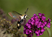 Snowberry Clearwing Moth; Hemaris diffinis; NJ, Salem Co.