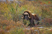 Muskox bull (Ovibos moscchatus) on arctic tundra with early fall color, Northwest Territories, Canada.