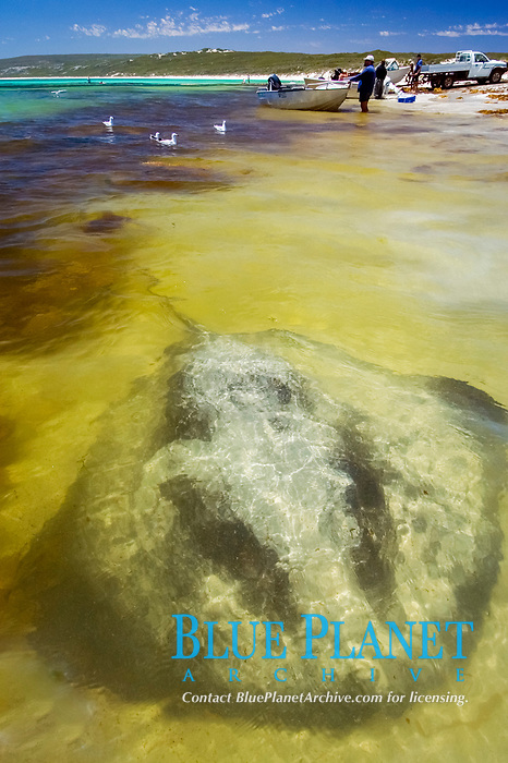 Thorntail stingray aka Black stingray (Dasyatis thetidis) in very shallow water, Hamelyn Bay, Western Australia, Indian Ocean