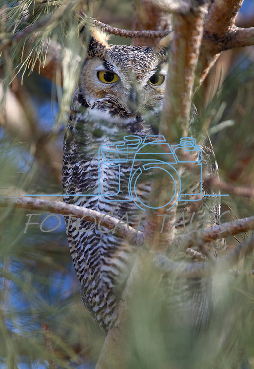 A Great Horned Owl sits in a tree in Washoe Valley, Nev., Feb. 3. 2010..Photo by Cathleen Allison.