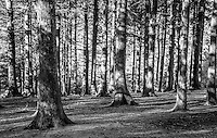 Black and white picture of coniferous  woodland on Beacon Fell, Lancashire.