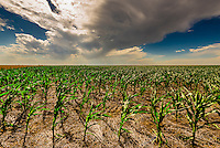 A newly planted corn field, Schields & Sons Farming, Goodland, Kansas USA.