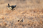 Greater Prairie Chicken (Tympanuchus cupido)