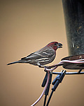 House Finch. Image taken with a Nikon D5 camera and 600 mm f/4 VR lens (ISO 800, 600 mm, f/4, 1/1250 sec)