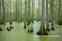 63895-14616 Bald Cypress trees (Taxodium distichum) Heron Pond Little Black Slough, Johnson Co. IL