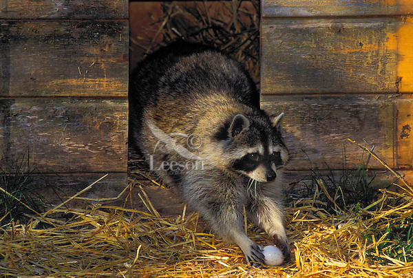 Raccoon raiding eggs from barn at dawn..Autumn. North America..(Procyon lotor).