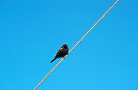 Red-winged Blackbird sitting on a wire, Agelaius phoeniceus, New Jersey, USA