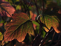 Autumn Hydrangea leaves