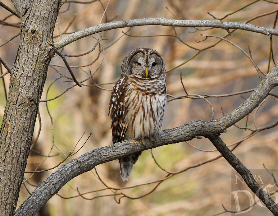 NWA Democrat-Gazette/BEN GOFF @NWABENGOFF<br /> A barred owl perches on a branch on Thursday March 3, 2016 at Turpentine Creek Wildlife Refuge in Eureka Springs.