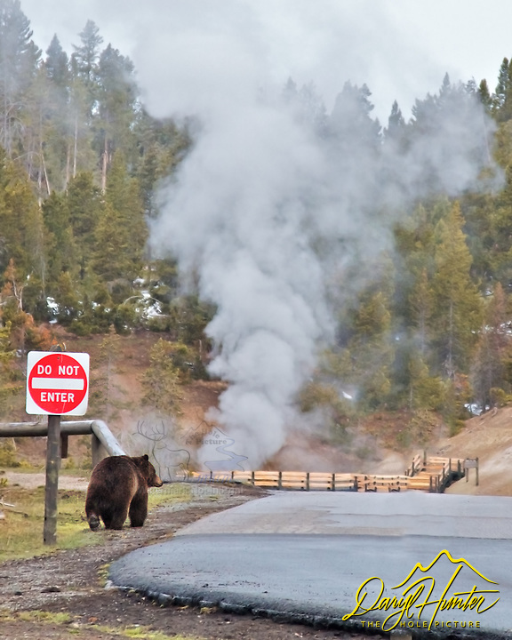 Wrong Way Grizzly,  a male grizzly bear enters the parking area of Mud Volcano thermal area in Yellowstone National Park.