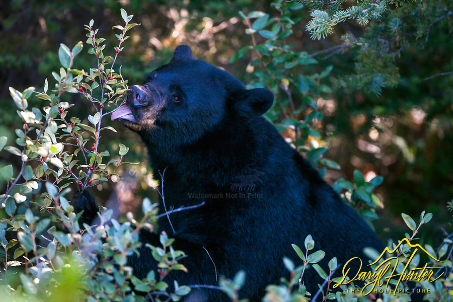 A Banff black bear grabbing berry snack on a fine August day at the beak of berry season along the Icefields Parkway.