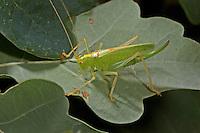 Gemeine Eichenschrecke, Weibchen, Meconema thalassinum, Meconema varium, drumming katydid, oak bush-cricket, oak bush cricket, female, Tettigoniidae