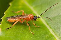 Ichneumon Wasp (Theronia hilaris) - Male, West Harrison, Westchester County, New York
