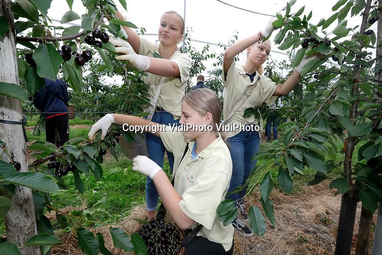 """Foto: VidiPhoto<br /> <br /> COTHEN – Zo'n zestig plukkers, van wie vijftien scholieren, halen bij fruittelers Theo Vernooij in Cothen de oogst binnen. Terwijl de oud-Hollandse kersen in de boomgaard hangen te verpieteren aan de hoogstambomen vanwege de overvloedige regen, zijn de nieuwe rassen onder de kap niet aan te slepen op dit moment. Volgens Vernooij heeft hij in zijn boomgaard nog nooit zoveel kersen verkocht als dit jaar, mede dankzij de coronacrisis. Klanten vinden het veiliger om in een open boomgaard fruit te halen dan in een supermarkt. Doordat de Cothense teler met 17 ha. kersen zo'n 60 verschillende rassen heeft, is het seizoen verlengd tot begin augustus. En dankzij de langzame rijping door het koele zomerweer, zijn de kersen ook groter en sappiger dan ooit. """"Het is net als met haring. Die is ook ieder jaar beter."""""""
