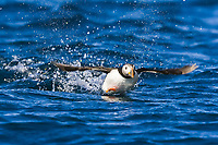 Adult puffin (Fratercula arctica) taking flight on the nesting island of Vaeroya in the Lofoton Island Group of Northern Norway, Norwegian Sea.