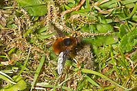 Bee-fly - Bombylius major