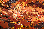 Korean maples in the Arnold Arboretum, Boston, MA