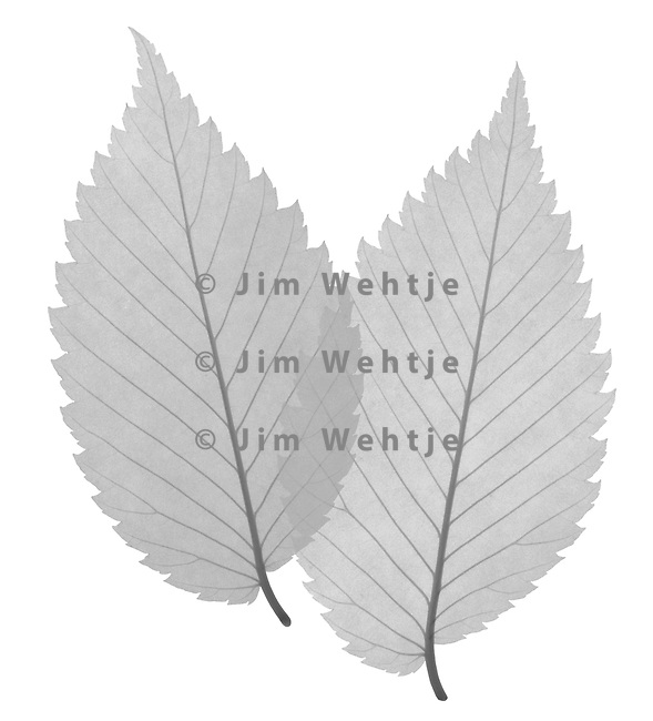 X-ray image of American elm leaves (Ulmus americana, black on white) by Jim Wehtje, specialist in x-ray art and design images.