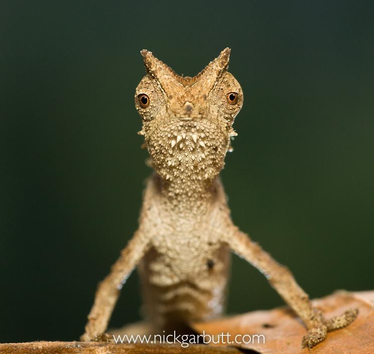 Stump-tailed Or Leaf Chameleon