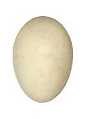 Goldeneye - Bucephala clangula