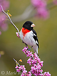 Rose-breasted Grosbeak (Pheucticus ludovicianus) male in breeding plumage, perched in flowering Eastern Redbud, New York, USA