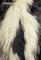 MA09-017d  Striped Skunk - close-up of striped tail - Mephitis mephitis